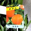 【果樹苗】はるみ(みかん)【柑橘類苗木】1年生(地掘り根巻き苗)【RCP】