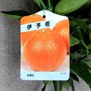 【果樹苗】宮内伊予柑(いよかん)【柑橘類苗木】1年生根巻き苗【RCP】