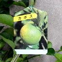 【果樹苗】カボス【苗木】【柑橘類】【RCP】 02P05Nov16