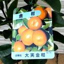 【果樹苗】大実キンカン(福寿)【苗木】2年生根巻き苗【柑橘類】