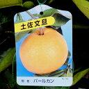 【果樹苗】土佐文旦(パールカン)(とさぶんたん)1年生【苗木】【柑橘類】【RCP】...