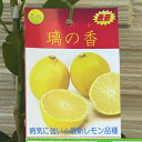【果樹苗】璃の香【れもん苗木】1年生根巻き苗【柑橘類】【RCP】