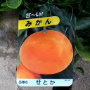 【果樹苗】せとか(みかん)【苗木】2年生根巻き苗【柑橘類】【RCP】02P05Nov16