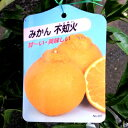 【果樹苗】不知火(デコポン)2年生【柑橘類苗木】【RCP】