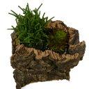 コルクアート 多肉植物 クラッスラ2種寄せ