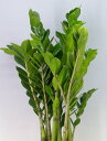 ザミオクルカス ザミーフォリア 7号鉢 かご・受け皿付き【観葉植物】