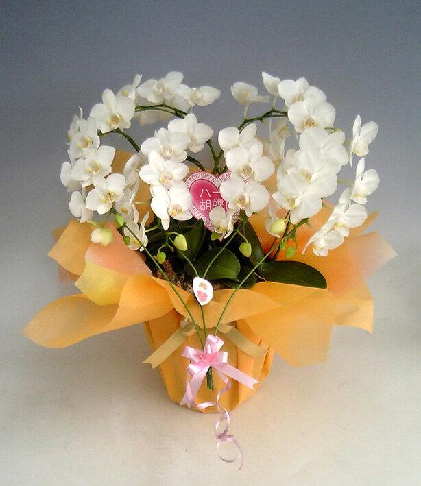 ハート胡蝶蘭 ミディタイプ 白 ダブルハート【送料無料】 純白のダブルタイプです。