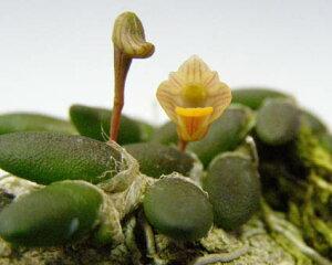 デンドロビューム リッチェンアストラム トゥエンティシー lichenastrum
