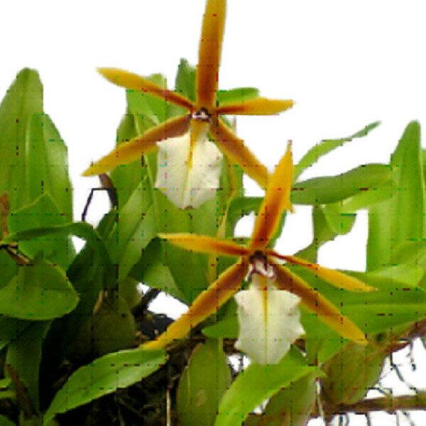 【花なし株】 ディネマ ポリブルボン Dinema polybulbon 原種 2.5号鉢 15cm 開花サイズ(BS)