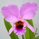 カトレア パーシバリアナ 'アルバーツ'C.percivaliana 'Alberts'【花なし株】【原種】