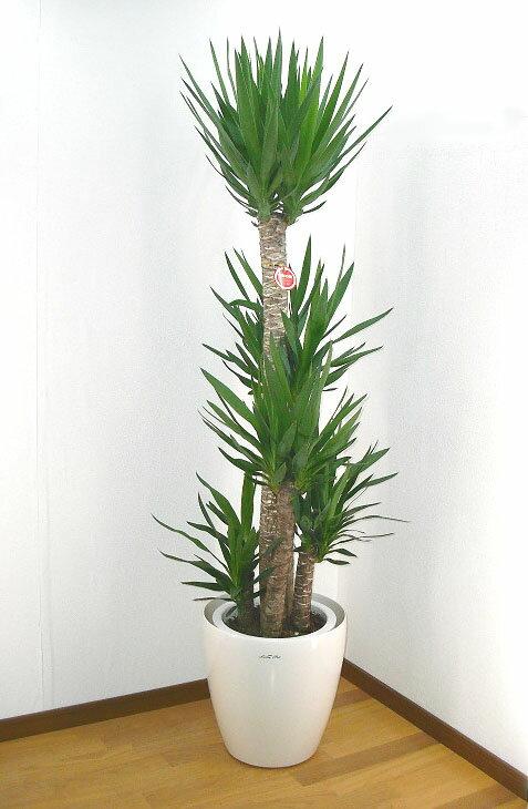 ユッカ エレファンティペス(青年の樹)10号鉢ラスターポット【観葉植物】【送料無料】【耐寒性】