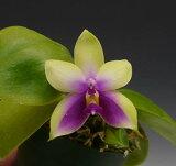 ファレノプシス ビオラセア Phal.violacea (=Phal.bellina)【花なし株】