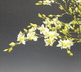 オンシジューム トゥインクル 'フレグランスファンタジー'Onc.Twinkle 'Fragrance Fantasy'【花なし株】
