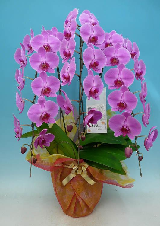 胡蝶蘭 大輪 ピンク 3本立ち 40輪以上【送料無料】 新築祝い、開店祝い、ギフトに最適です。