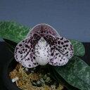 パフィオペディラム ベラチュラムPaph.bellatulum【花なし株】【原種】