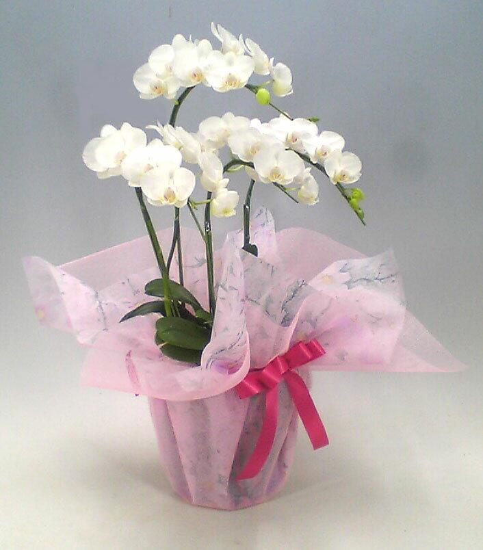 ミディ胡蝶蘭 アマビリス 白 4本立ち 25輪以上【送料無料】 贈り物、部屋飾りに最適です。