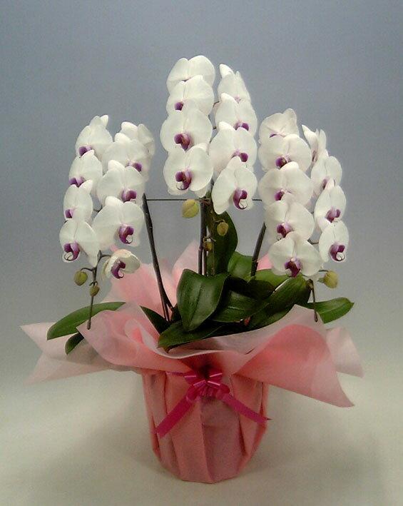 胡蝶蘭 大輪 白赤(セミアルバ リップ) 3本立ち 33輪以上【送料無料】 贈り物に最適です。