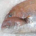 天然真鯛 1尾(約1.5kg)【楽ギフ_包装選択】【楽ギフ_のし】