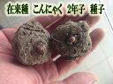 【予約商品】在来種 こんにゃく 種子 2年子 500g 【蒟蒻芋】