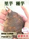 新種入荷!! 里芋種子 赤芽大吉芋 1kg【里芋】【里芋種芋】