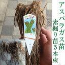 【予約商品】アスパラガス苗 ウェルカム 素掘り苗 5株束