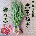 【予約商品】赤玉ねぎ苗 猩々赤 50本束【野菜苗】 【玉ねぎ苗】