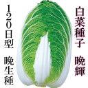 白菜種子 晩輝 2.4ml 小袋【郵便送料110円〜】【タキイ種苗】【白菜の種】【野菜種子】