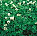 【緑肥 景観用種子】しろクローバー(500g)【シロツメグサ】【グランドカバー】【雑草抑制効果】【緑肥】