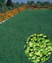 ダイカンドラ コート種子 0.5kg 【タキイ種苗】【グランドカバー】