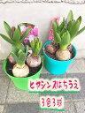 ヒヤシンス4号鉢植え 3球3色 1鉢