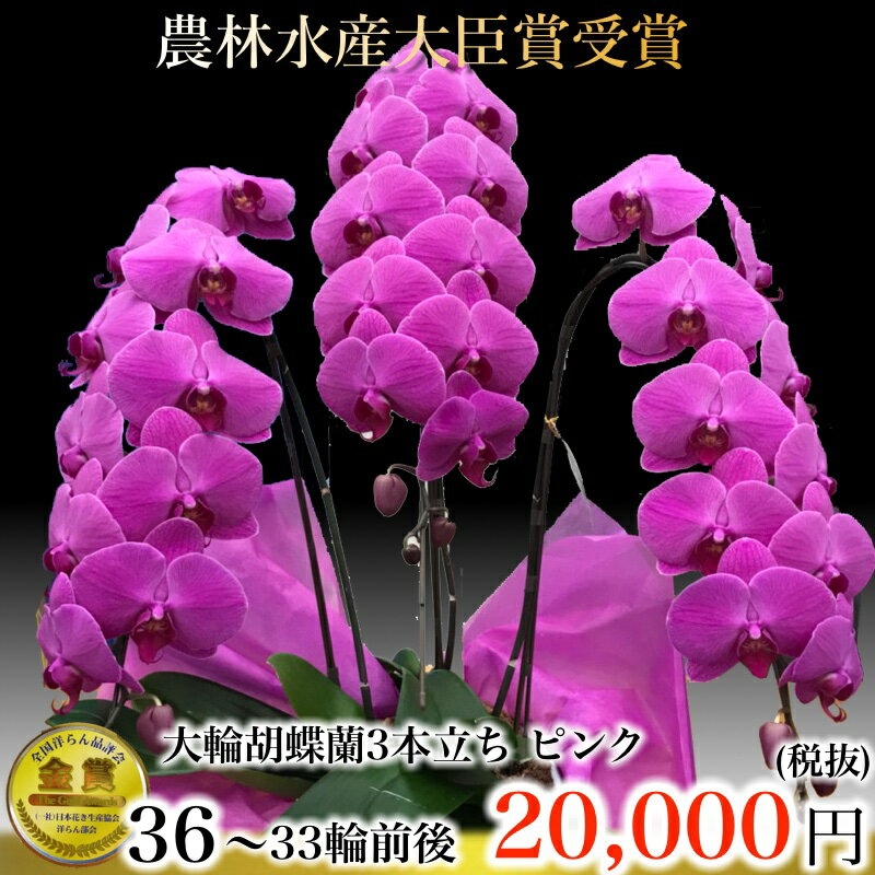 胡蝶蘭3本立33輪〜36輪(蕾含む)ピンク(紫)胡蝶蘭3本立ち・胡蝶蘭(コチョウラン)胡蝶蘭3本立ち