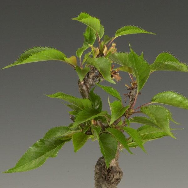 桜盆栽:鉢色選べるミニ一才桜(信楽花型小鉢)*...の紹介画像3