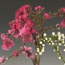 盆栽:南京桃3色しだれ咲き*【あす楽対応】【楽ギフ_包装】
