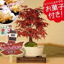 【あす楽 ギフト】盆栽:出猩々もみじ(瀬戸焼小鉢)もみじの天ぷらセット*【送料無料】