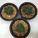 多肉植物:ハオルチア オブツーサ hyb.*4cm