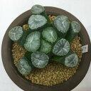多肉植物:ハオルチア 万象 N203*7cm【現品!一品限り】