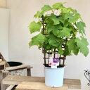 美容・健康 家庭果樹 鉢植え:ブドウフェンス仕立て デラウェア*ぶどう