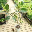 観葉植物:フィカス ティネケ(斑入りゴムの木)*