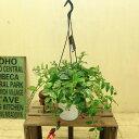 観葉植物:斑入りエスキナンサス *吊り鉢