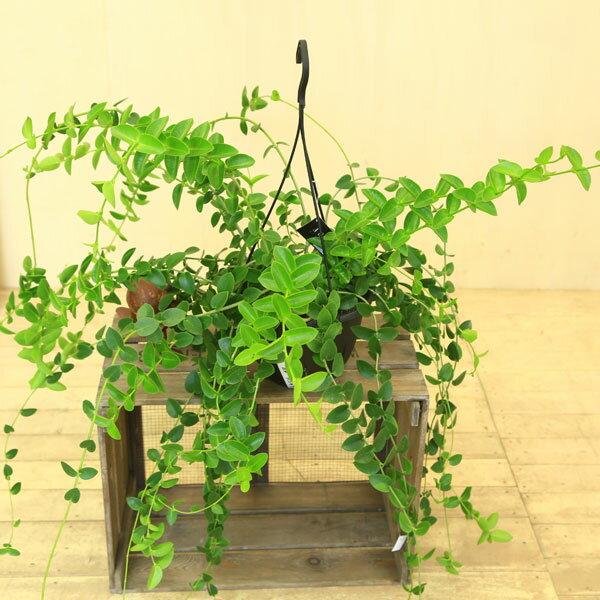 多肉植物:ホヤ・クミンギアナ*特大サイズ 吊り鉢
