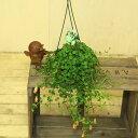 観葉植物 多肉植物:カランコエ フィフィ*(吊り鉢)