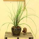 観葉植物 希少植物:アラエオココス 陶器鉢*受け皿付き
