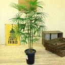 観葉植物:ウンナンシュロチク*雲南棕櫚竹 しゅろちく