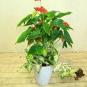 寄せ植え 鉢花 観葉植物:アンスリュウム 寄せ植え*ゴットセファイアナ 陶器鉢