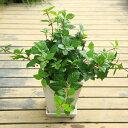 観葉 鉢花 実物 寄せ植え:ツルヤブコウジ 陶器鉢*ホワイト つるやぶこうじ 受け皿付き