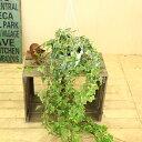 観葉植物:アイビー(ヘデラ)ゴールデンチャイルド*吊り鉢