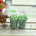 観葉植物 多肉植物:マーブルネックレス*2個セット 斑入りグリーンネックレス