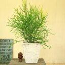 観葉植物:ユーホルビア(ユーフォルビア) ミルクブッシュ*グラスファイバー