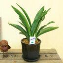 観葉植物:オモト 万年青*ベターポットラウンドA 受け皿付 陶器鉢 おもと