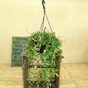 観葉植物:ホヤ ピラパータ*吊り鉢